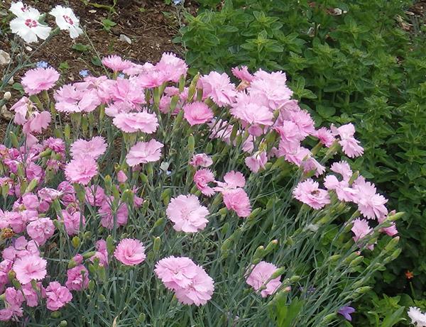 Color en el jard n todo el a o plantas que florecen en mayo for Plantas para rocallas