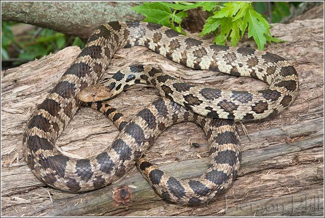 snakes fox snake