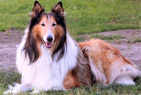 How the Collie dog can ease your pain