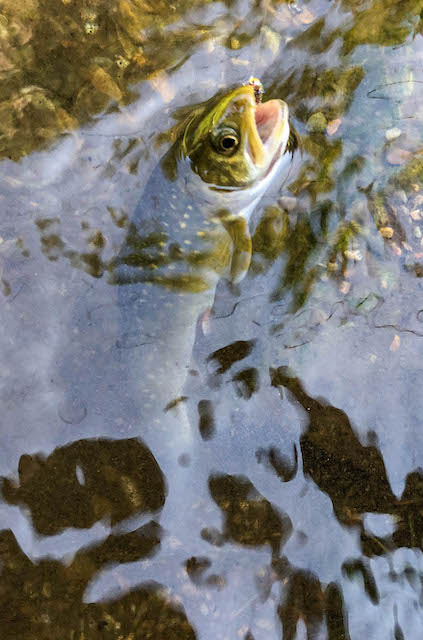 baby bull trout in Idaho