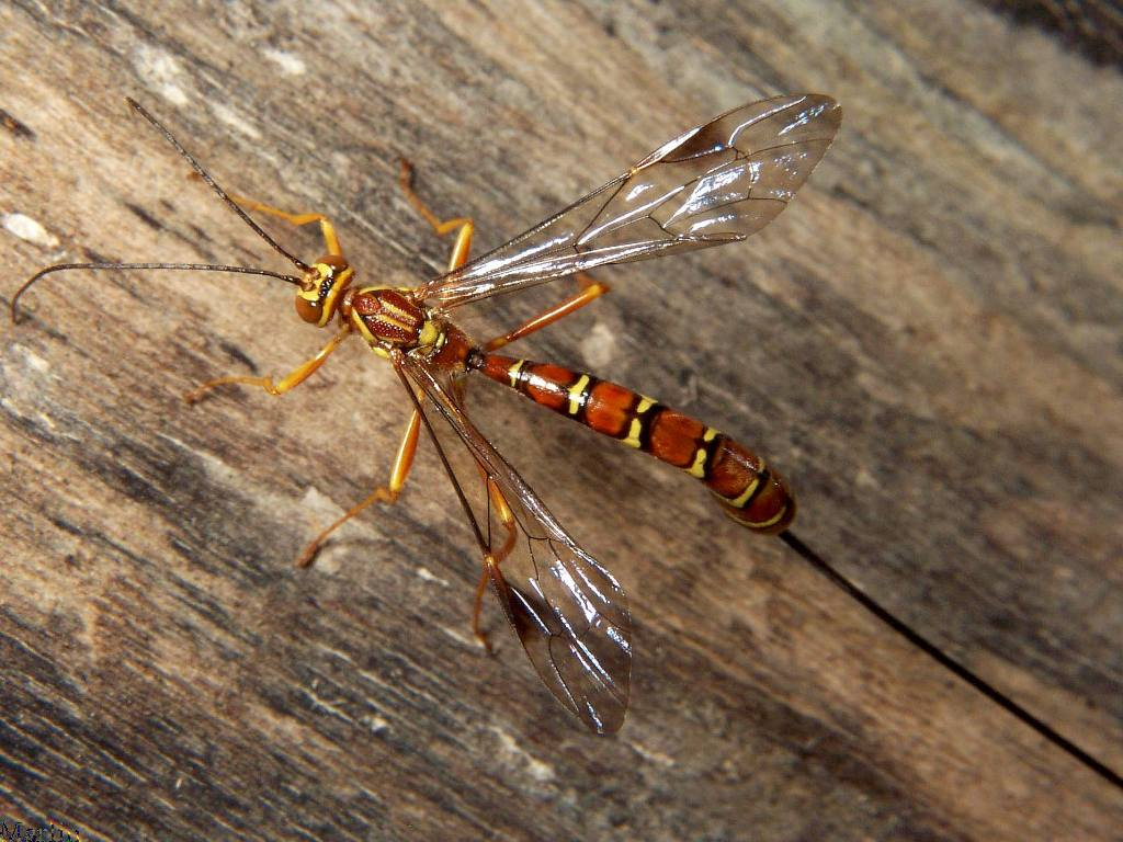 Wing Gold >> Temperate Climate Permaculture: Beneficial Insects: Ichneumon Wasps