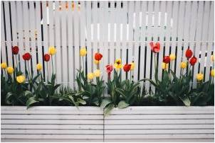 White fence with red and yellow tulip flowers