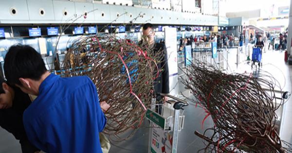 Vietjet Air nhận vận chuyển mai, đào trong dịp tết 2017