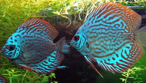 Daftar Penyakit Ikan Discus dan Cara Mengobatinya