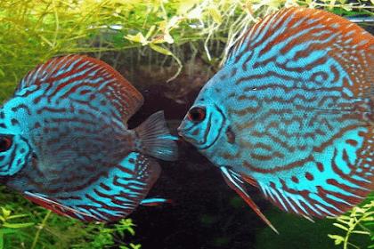Inilah Penyakit Ikan Discus yang Sering Ditemui dan Cara Mengobatinya