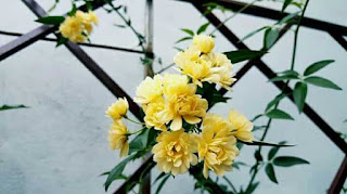 hoa hồng mân côi
