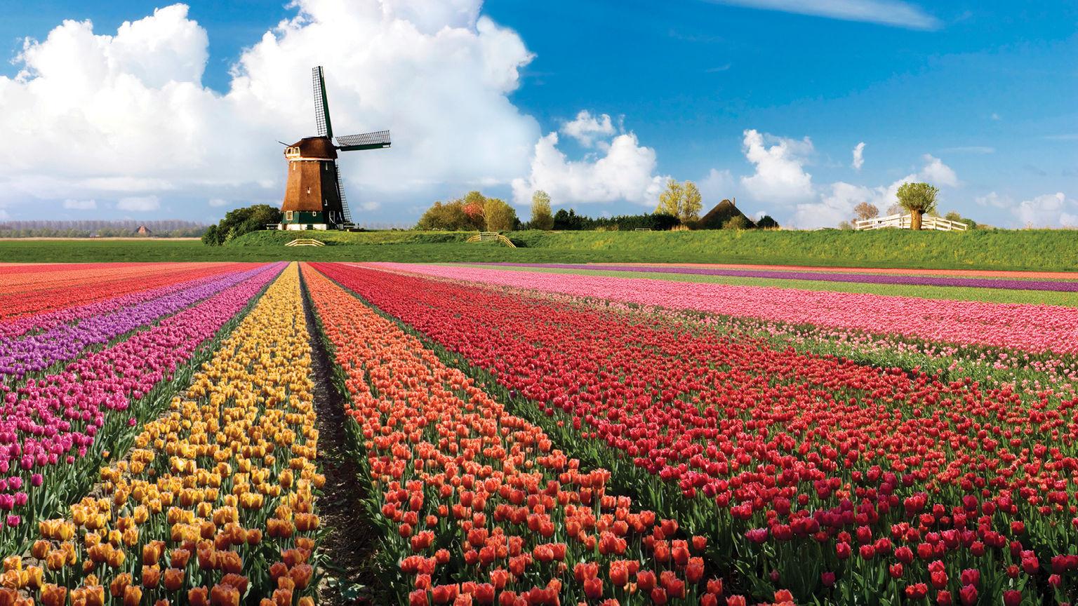 Тюльпановые поля в парке Кекенхоф