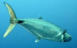 Tips Jitu Teknik Memancing,cara mancing ikan tenggiri,2015,di pulau seribu,kepulauan seribu,malam, teknik mancing tenggiri, youtube mancing tenggiri,