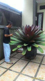 harga jual tanaman bromelia giant paling murah
