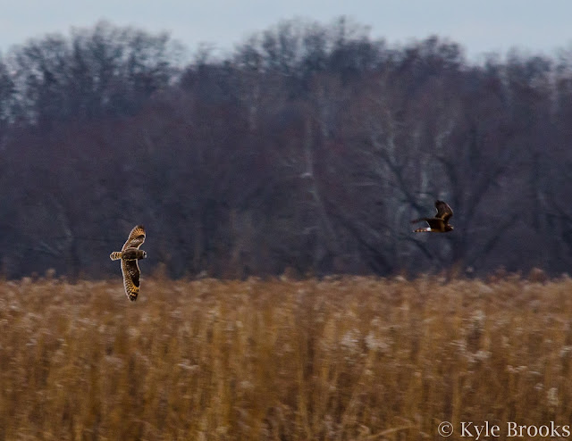 Short-Eared Owl and Northern Harrier