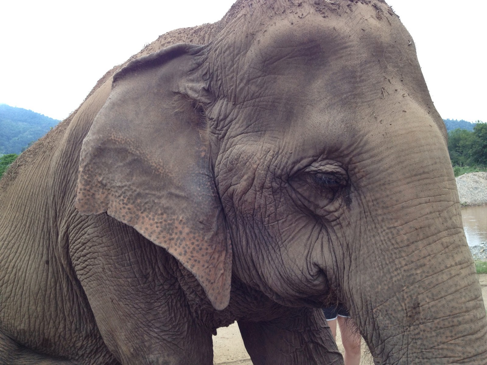 Chiang Mai - Elephant with a displaced hip