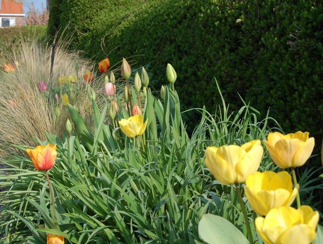 voorjaarstuin bloembollen grassen en tulpen