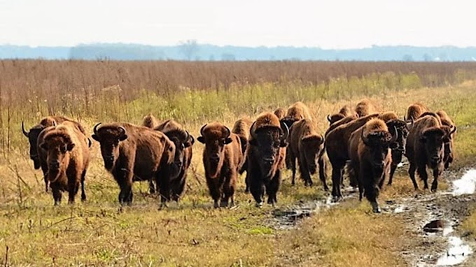 For the first time in 200 years, bison roaming in Indiana is free