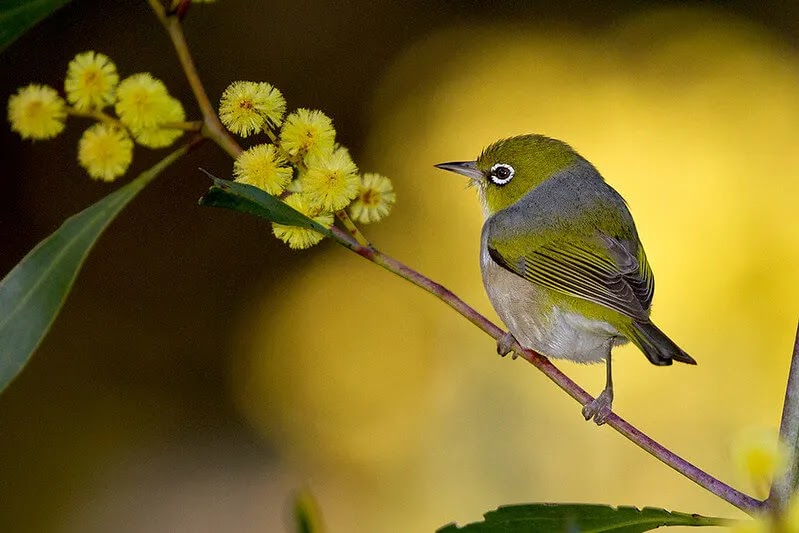 Faktor Pembeda antara Burung Pleci Jantan dan Betina