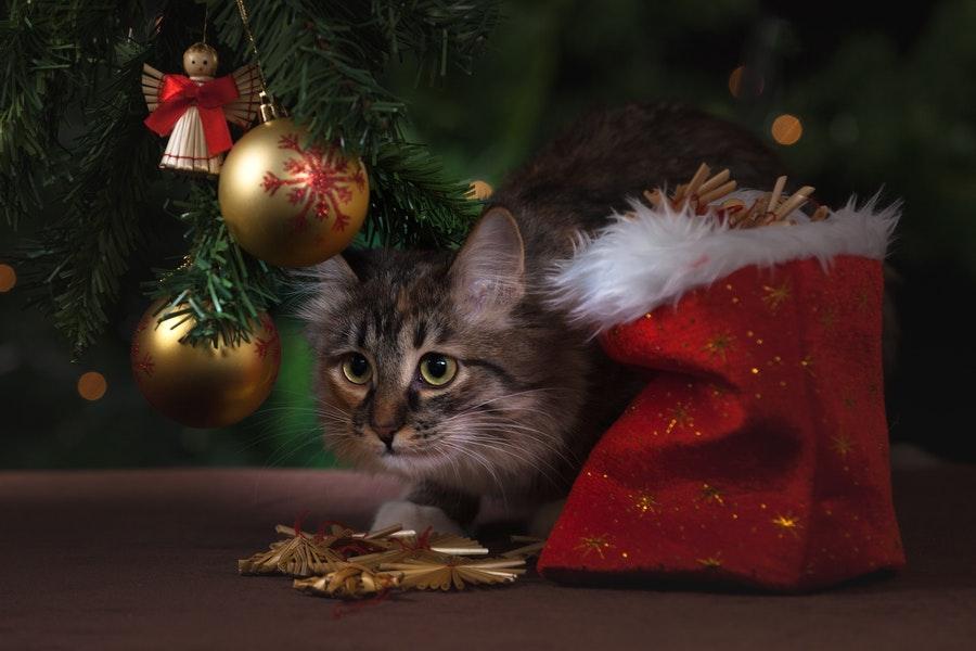 Święta z kotem, kot bezpieczny w święta, rośliny trujące dla kota
