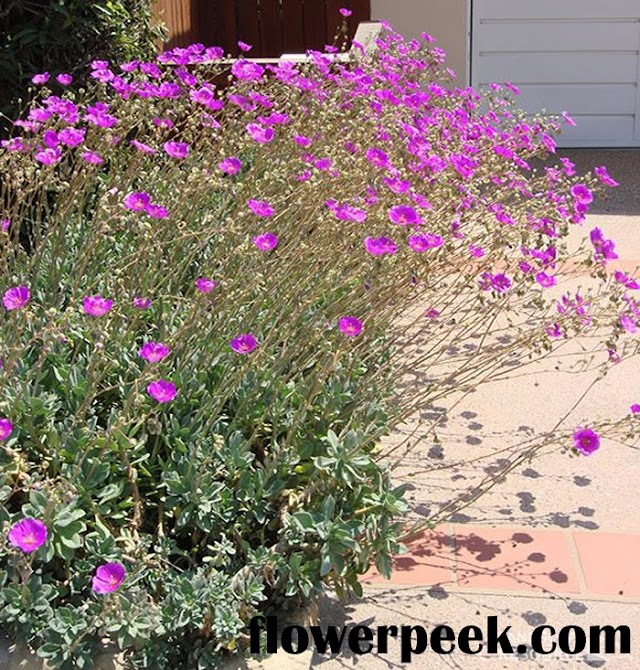 Tips on how to care for rock purslane plant