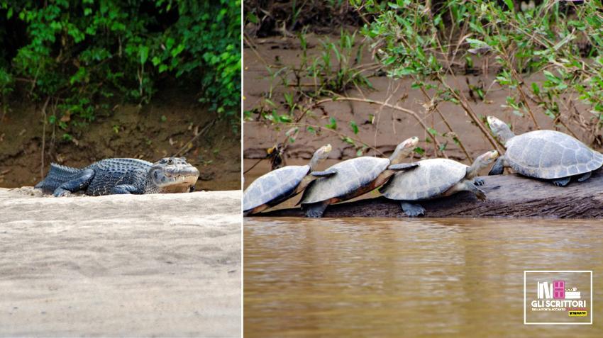 Caimano e tartarughe sul fiume Manu