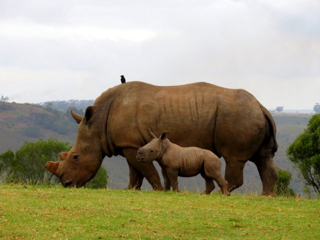 White rhinoceros and baby at Botlierskop