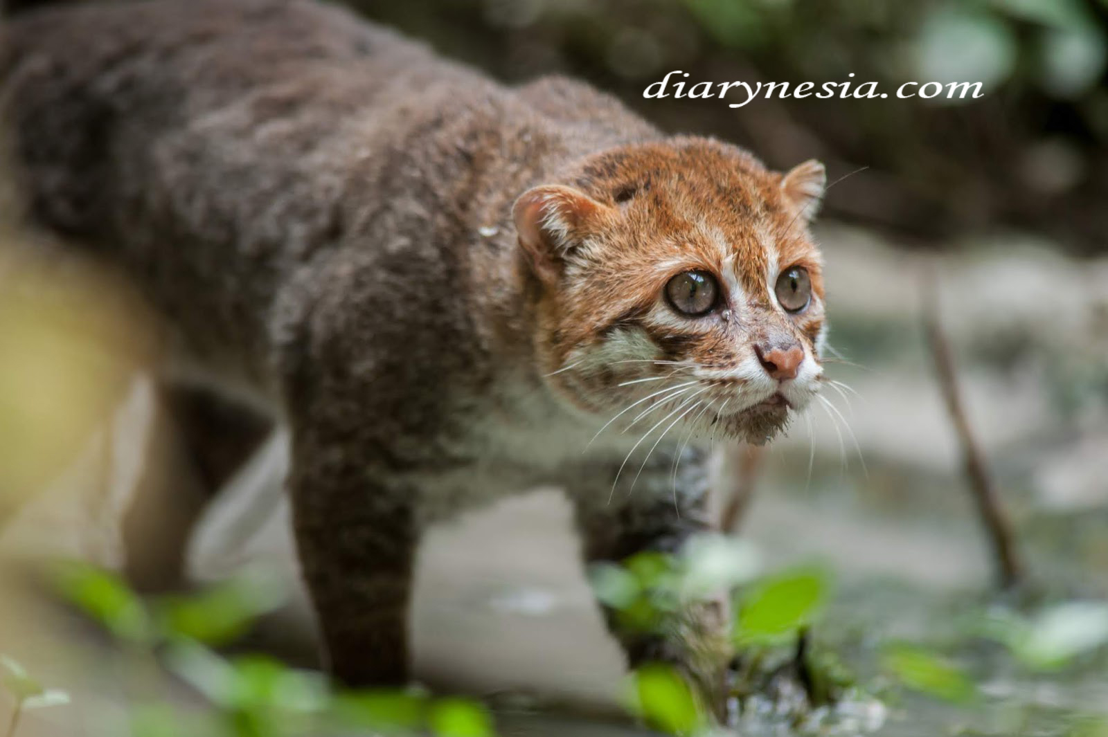 known species of wild cats, different types of wild cats, rare wild cat species, diarynesia.