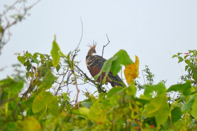 Guyane, marais de Kaw, Jal voyages, caïman, oiseaux