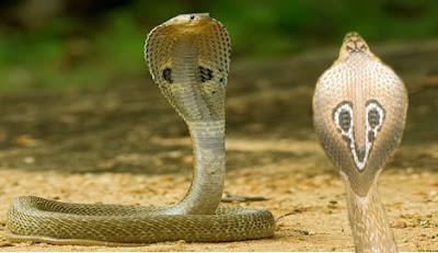 Indian cobra snake
