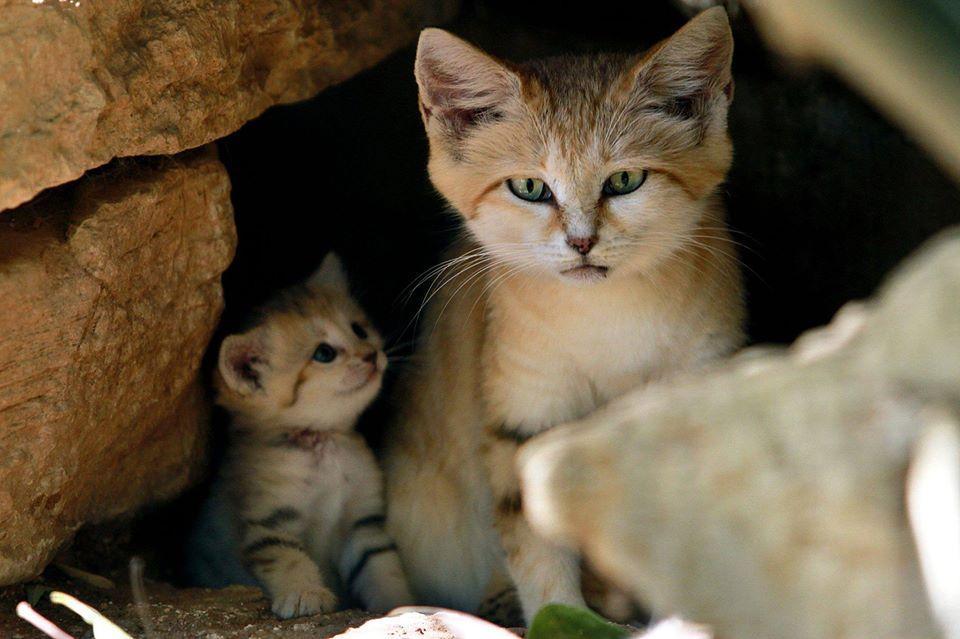 minuet kittens