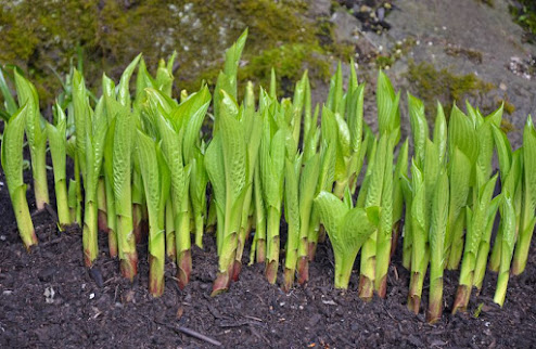 Grouping of Hosta Buds in early spring