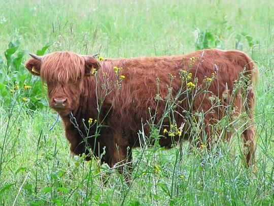 Krowa szkockiej rasy wyżynnej Highland cattle