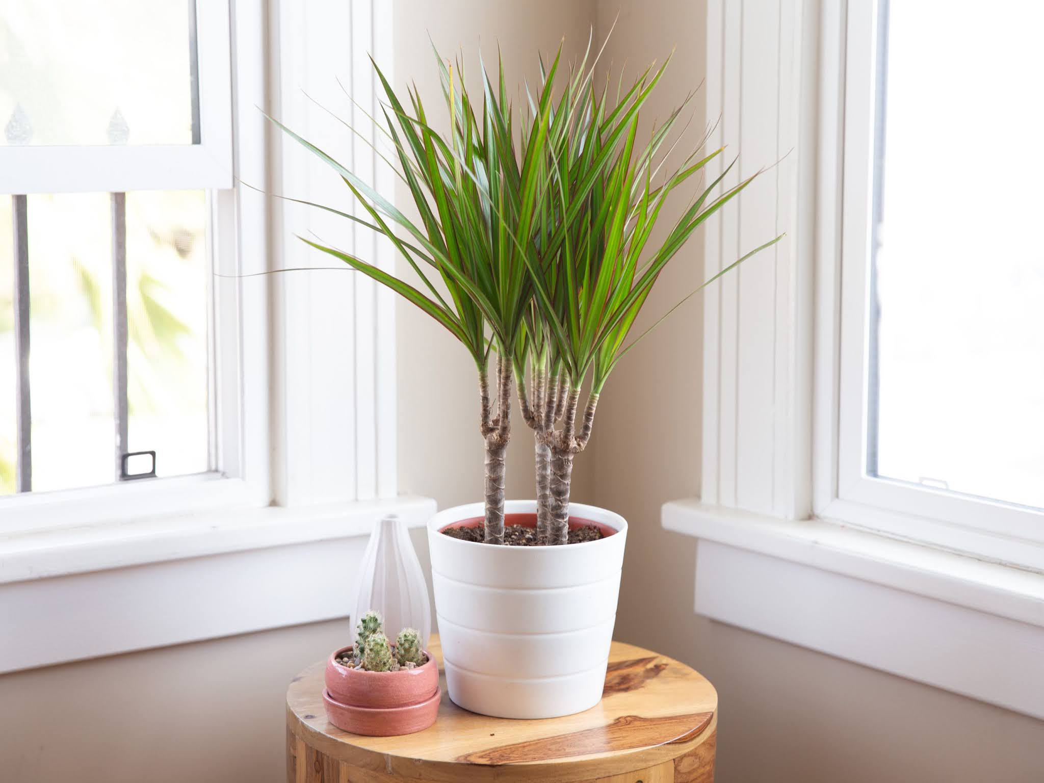 Buy dracaena Colorama plant online for decorate purpose