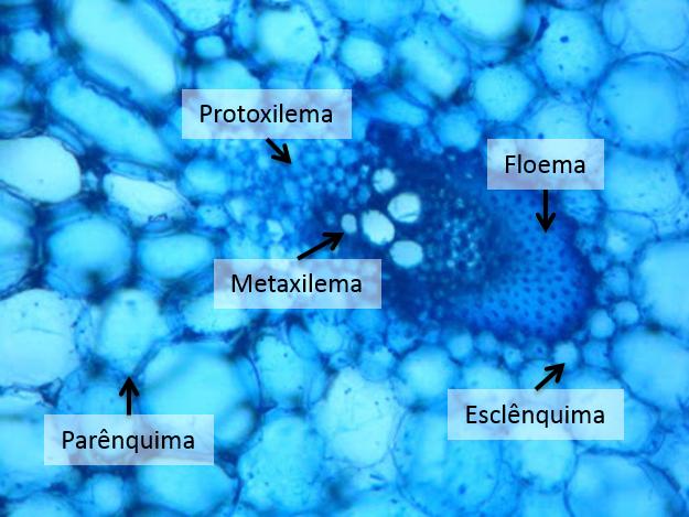Farmacobotânica Sistema Vascular Xilema E Floema