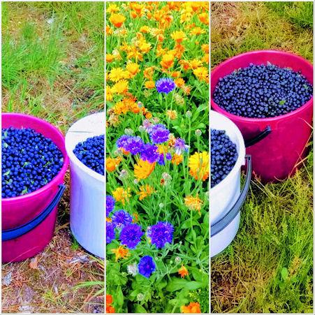 Kuvassa muutama sankollinen mustikoita kollasina, jonka keskellä kaistale kesäistä kukkaniittyä