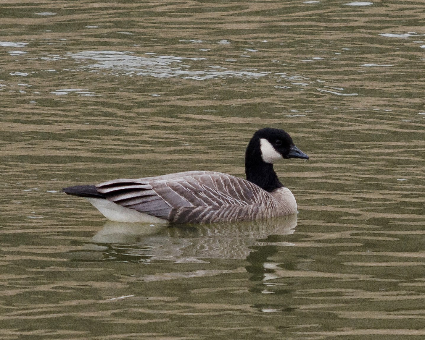 Cackling Goose Ohio