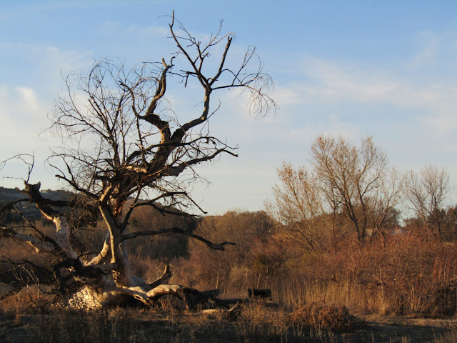 Dead Cottonwood Tree on December 30, 2020