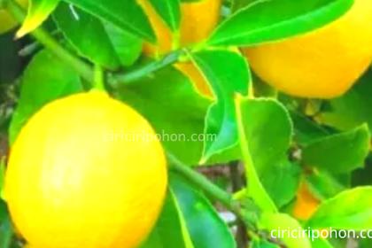 Beberapa Jenis Pohon Jeruk Unggul yang Cocok Anda Tanam