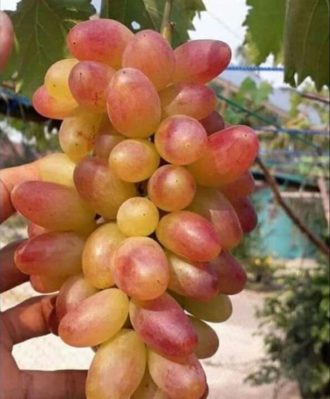 Promo! Bibit Tanaman Buah anggur import Transfigurasi Kota Bandung #bibit buah langka