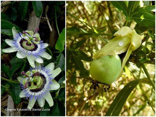 Flores y fruto en desarrollo - Chacra Educativa Santa Lucía