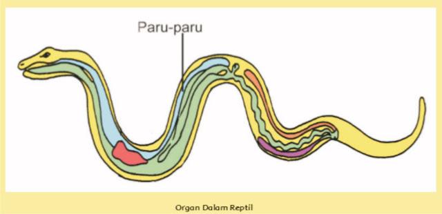 Alat dan Sistem Pernapasan pada Reptil