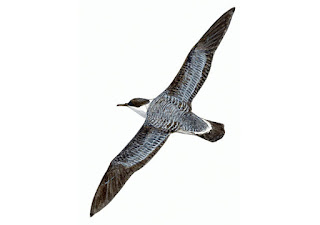 https://www.xeno-canto.org/sounds/uploaded/TYEQKORVXJ/XC189581-Manx%20Shearwaters%2C%20noisy%20track%2C%20Big%20Copeland%202014-08-01%3B0108.mp3