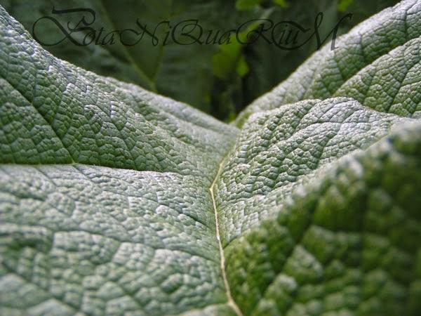 Botaniquarium - Gunnera manicata leaf texture