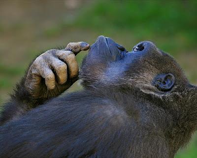 """Gorila pensando5"""
