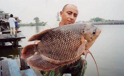 Indonesia mampu kita bilang merupakan surga para pemancing  Lihat 13 Umpan Ikan Gurame Ampuh Ganas Banget