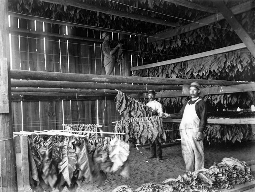 Vintage photo of tobacco farmers