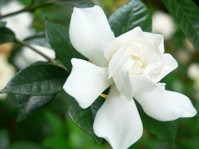Pictures Of Flowers Jasmine