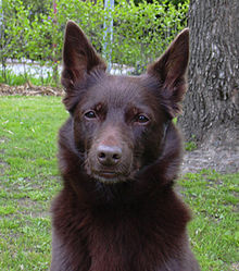 Australian Kelpie-dog-dogs-dog breeds-pets