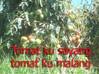 Toamat ku sayang Tomatku Malang......