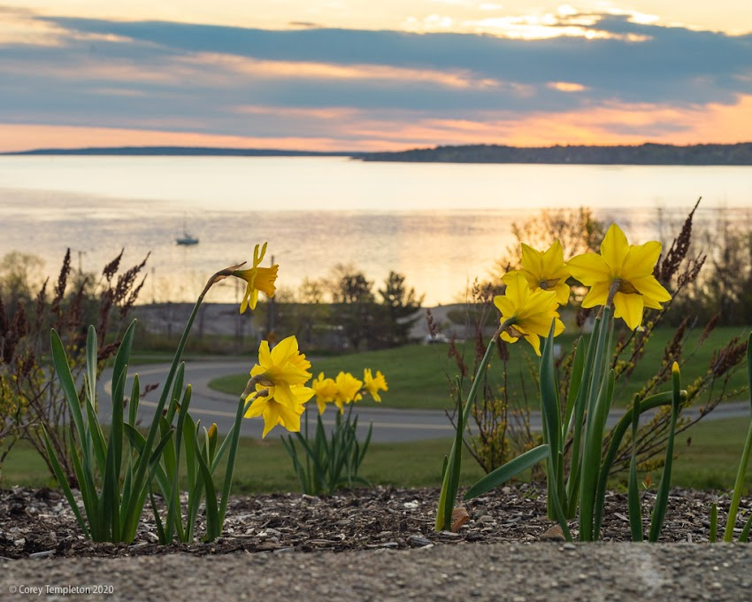 May 2020 photo by Corey Templeton. Watching the sun break through the clouds on the Eastern Promenade. Daffodil flowers.