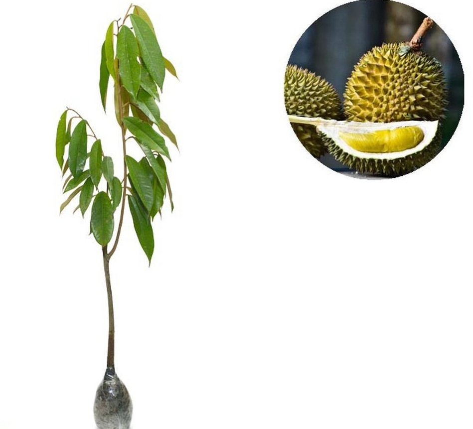 Bibit Tanaman Buah Durian Montong Bali