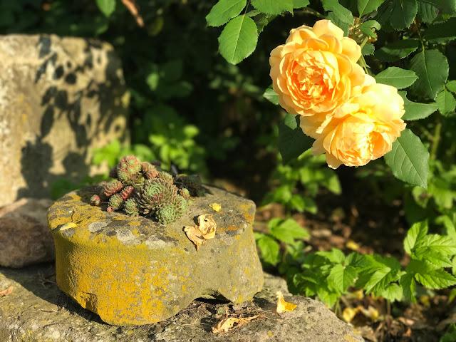 Austinrose Golden Celebration  und Dachwurz (c) by Joachim Wenk