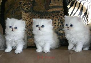 Cara Merawat Anak Kucing Persia Umur 2-3 Bulan, Cara Merawat Kucing Persia Medium Usia 2 Bulan, Tips Agar Kucing Bisa Manja