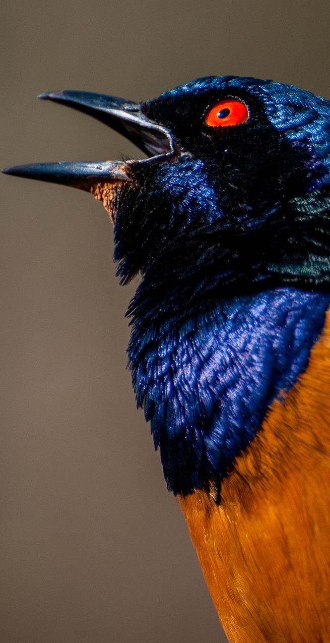 Hildebrandt's starling (Lamprotornis hildebrandti).